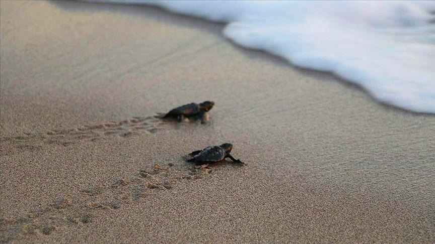 بچه لاکپشتها در سواحل آنتالیا روانه دریا شدند